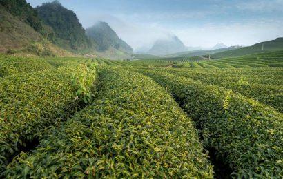 Beberapa hal yang perlu anda tahu mengenai Kebun teh wonosari
